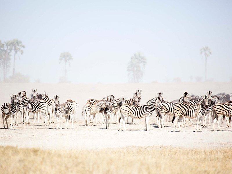 Botswana-Kalahari-San-Camp-Zebra-migration