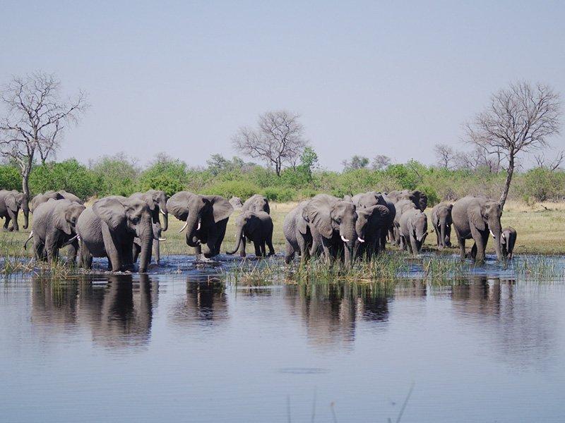 Botswana-Linyanti-SavutiCamp-Elephants