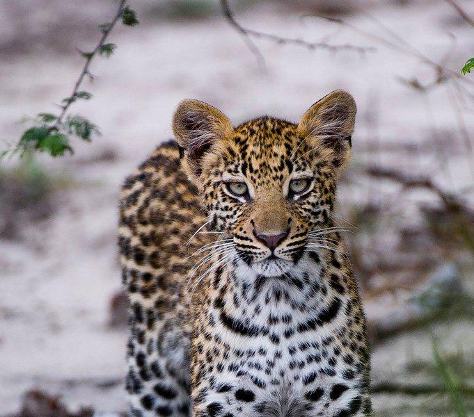 Botswana-Okavango-Kwetsani-Camp-Leopard