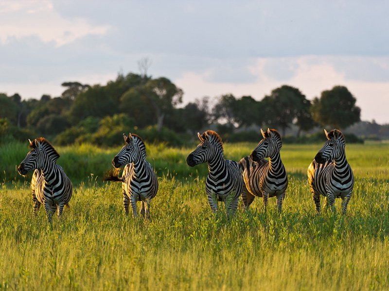 Botswana-Okavango-Little-Mombo-Camp-Zebras