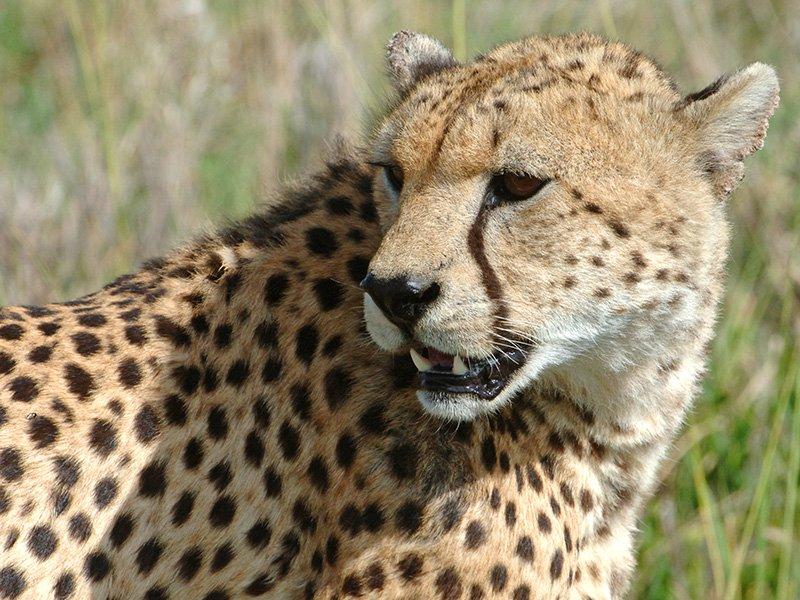 Botswana-Okavango-Xaranna-Cheetah