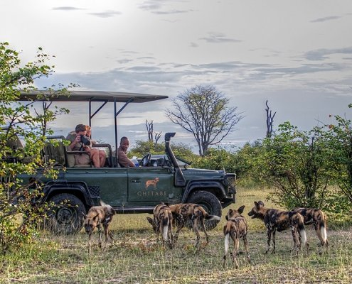 Chitabe-Lediba-Botswana-Okavango-game-viewing-wild-dogs