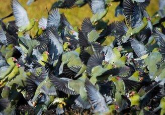 Congo-Odzala-Lango-Camp-African-Green-Pigeons