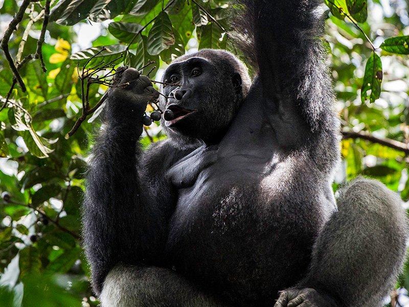 Congo-Odzala-Ngaga-Camp-Gorilla-Silverback
