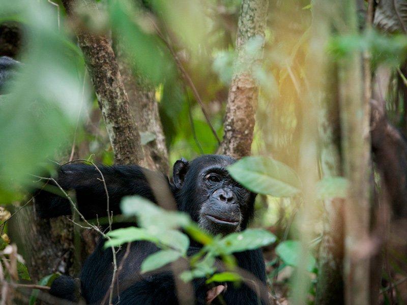 Tanzania-Lake-Victoria-Greystokes-Mahale-Chimp