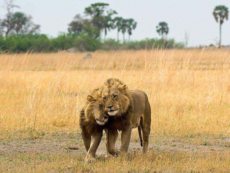 Botswana-Linyanti-SelindaCamp-Lions