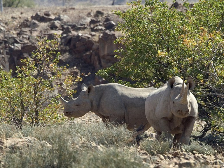 Namibia-Palmwag.DesertRhino