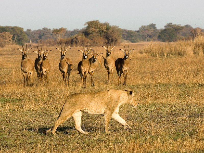 Zambia-Kafue-Busanga-Bush-Camp-Lion